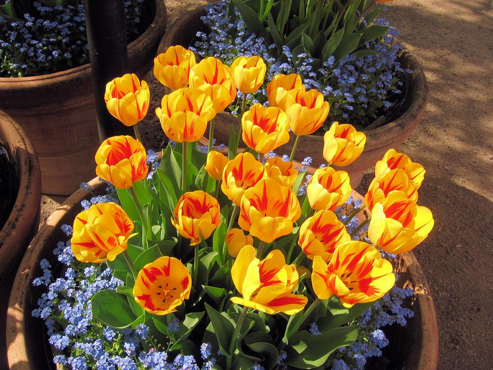Tulpen im Kübel