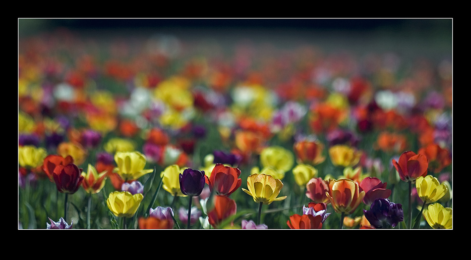 Tulpen im Panorama