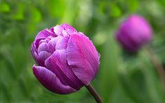 Tulpen im regen