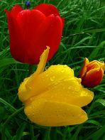 *Tulpen im Regen*