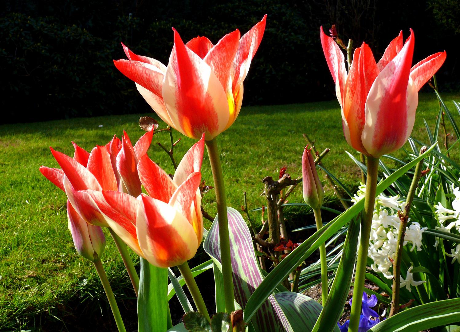 Tulpen im Rosenbeet