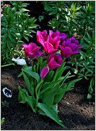 Tulpen im Schatten