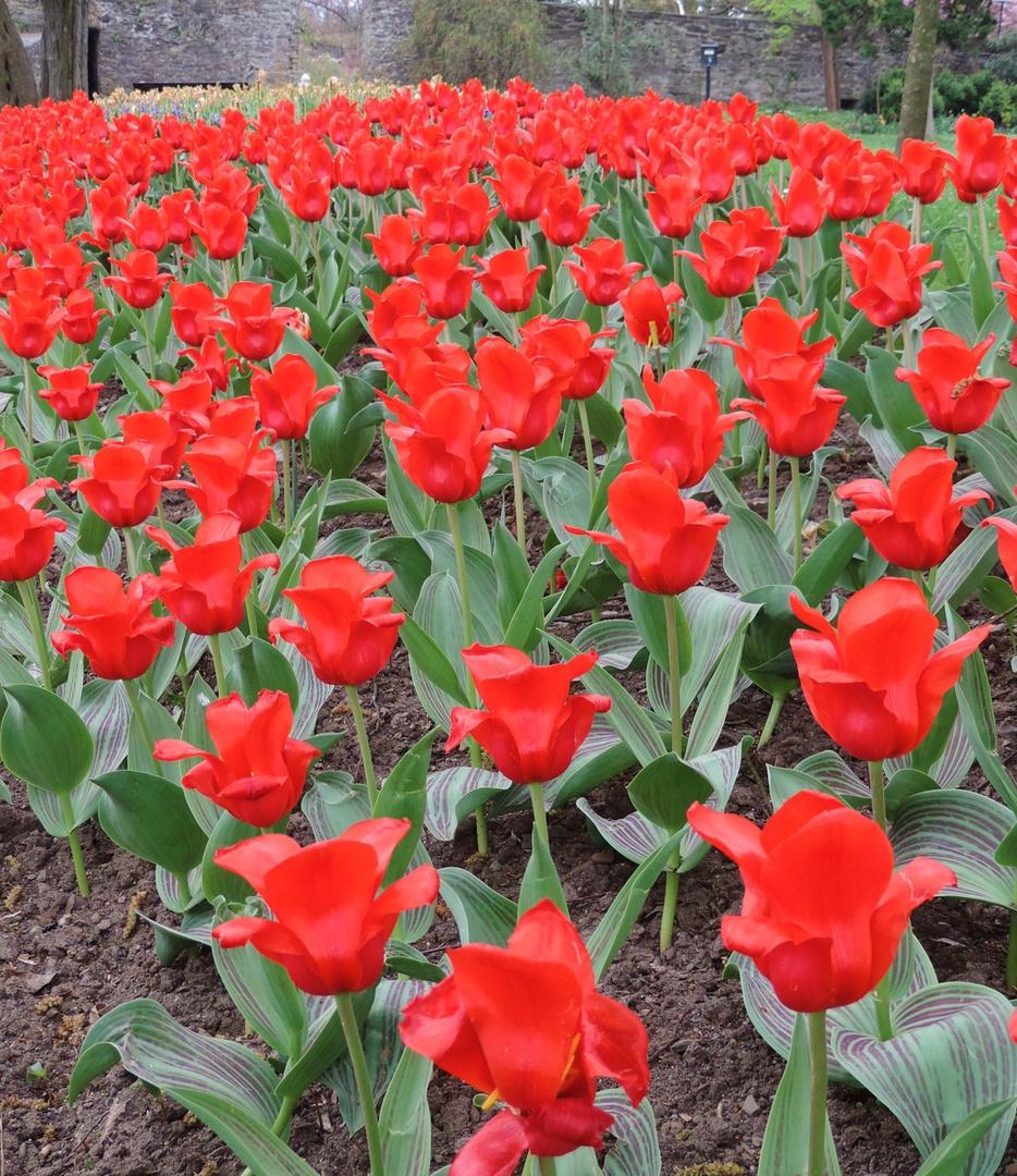 Tulpen im Schlosspark Siegen