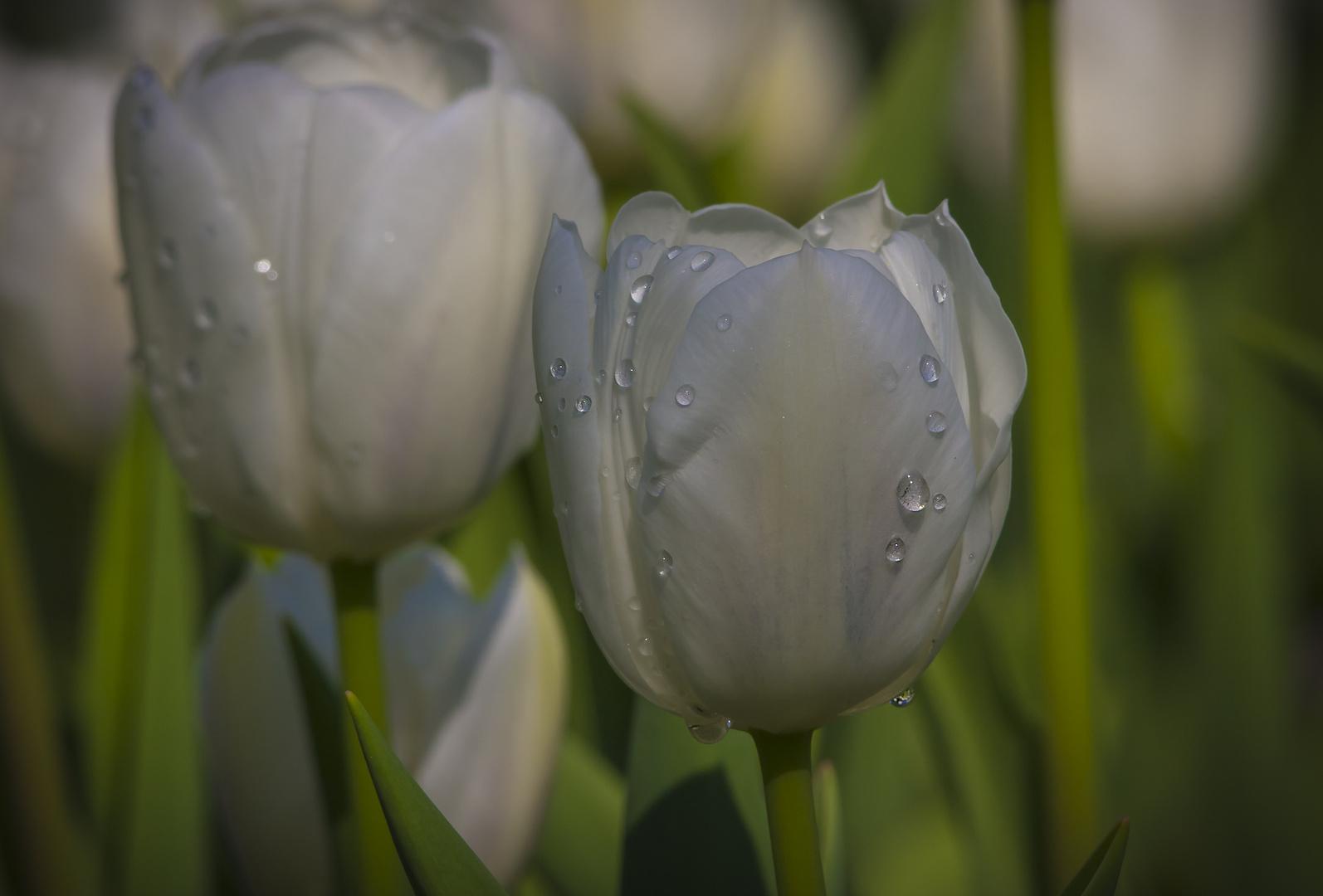 Tulpen in Amsterdam..........(Luisenpark)