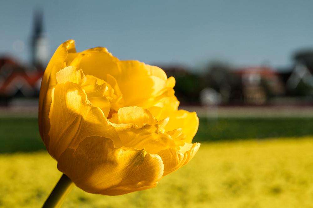 Tulpen in Den Hoorn, Texel