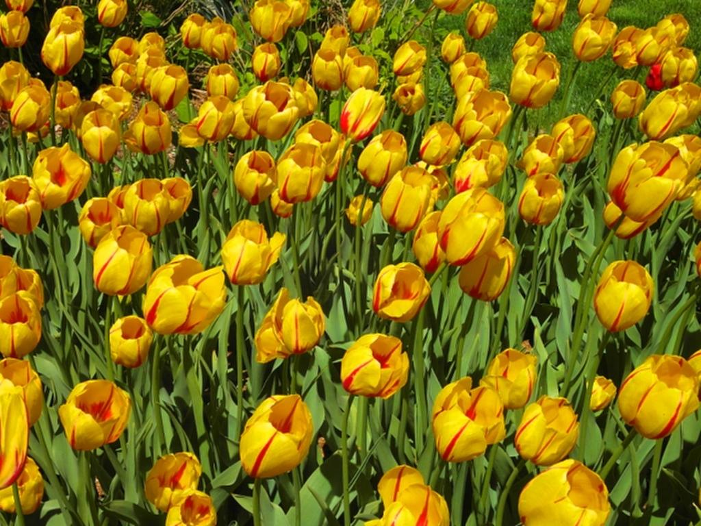 tulpen in den usa
