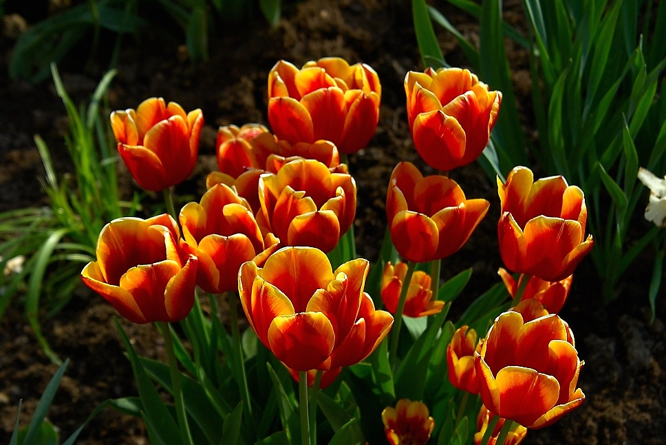Tulpen in der Abendsonne 1