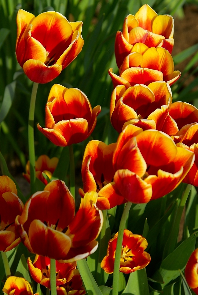 Tulpen in der Abendsonne 2