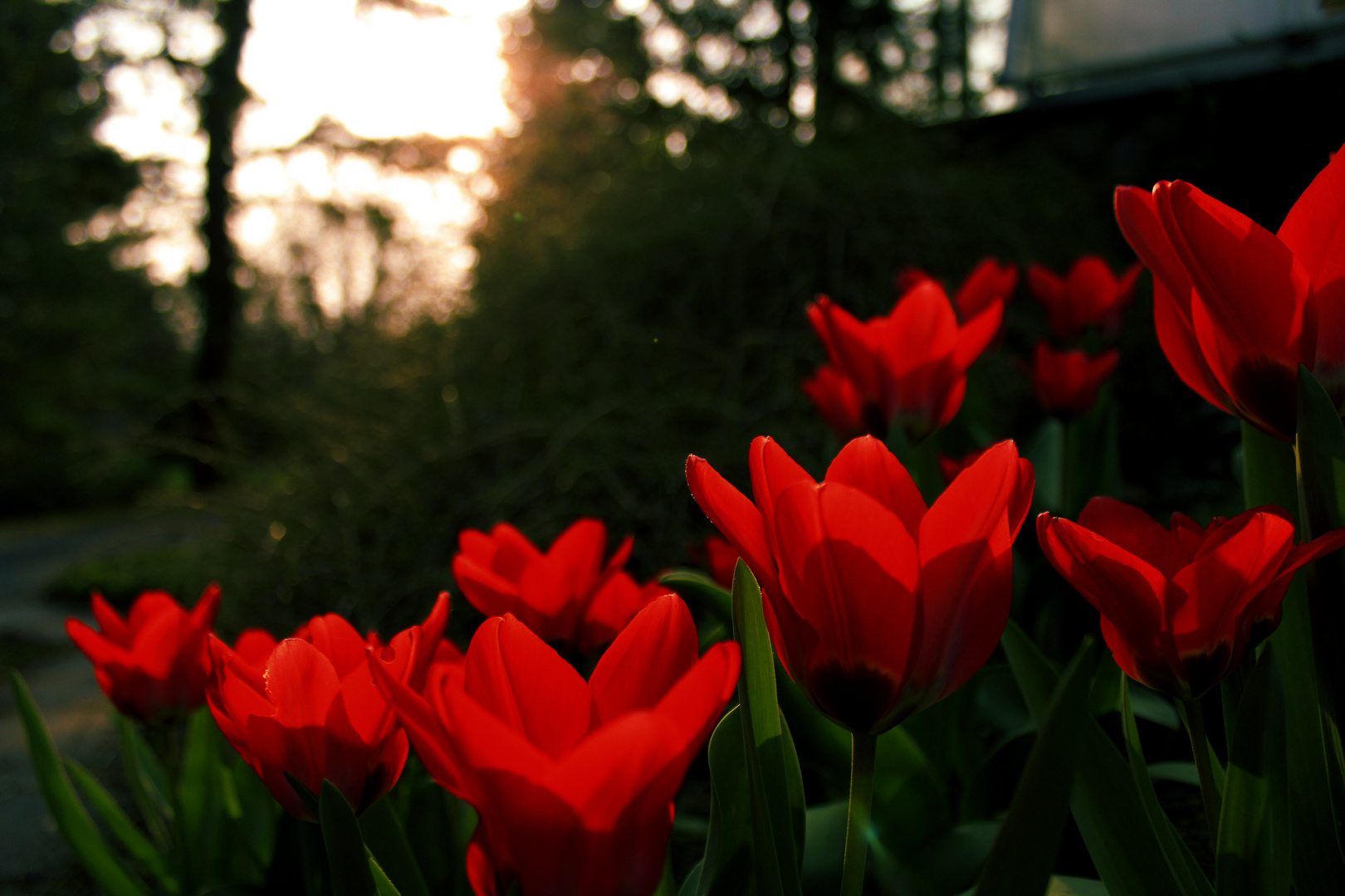 Tulpen in der Abendsonne