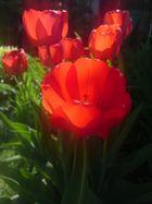 Tulpen in der Abendsonne
