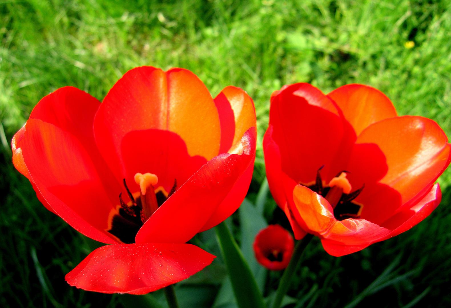 Tulpen in der Sonne