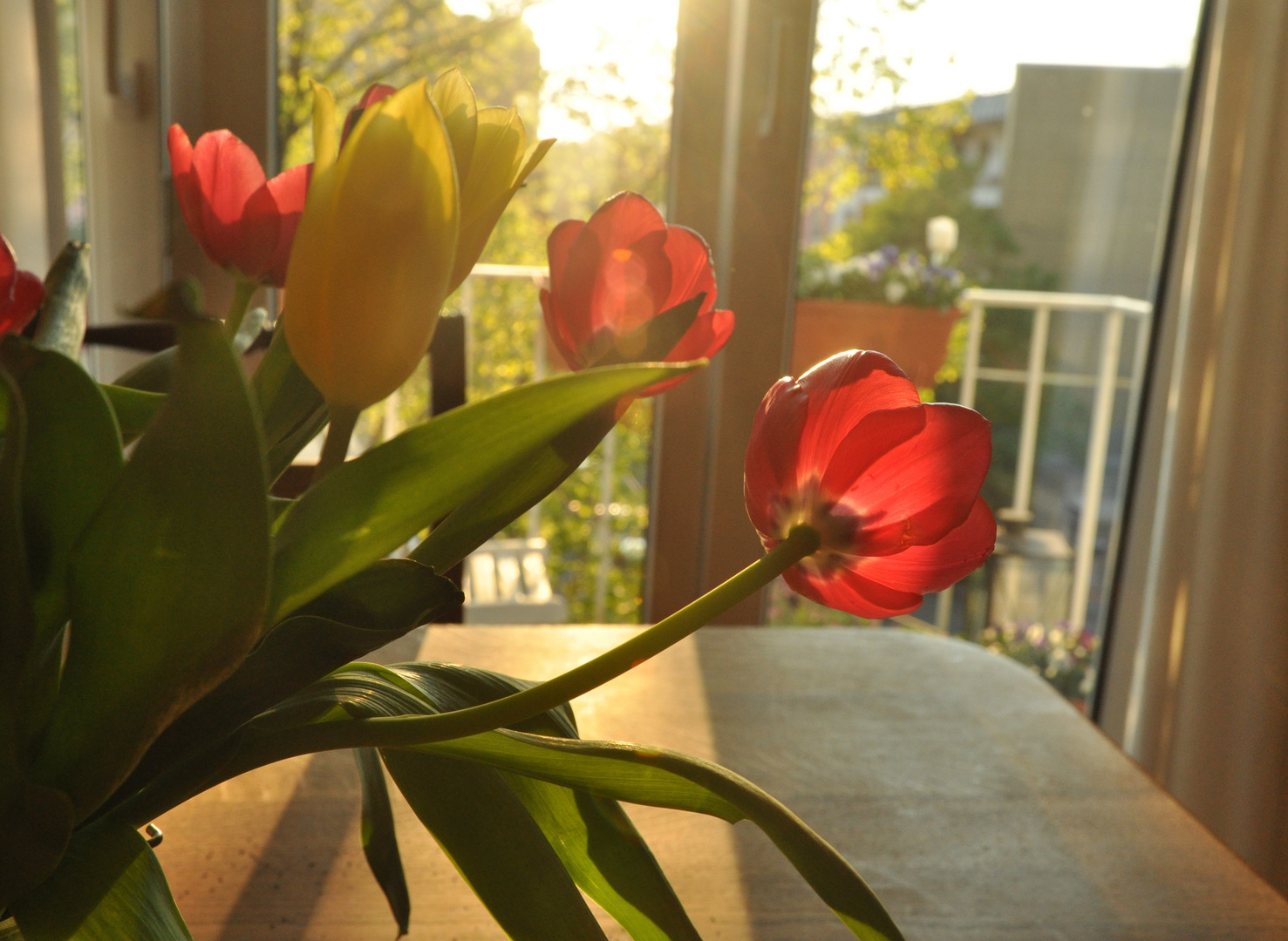 Tulpen in gleisendem Licht