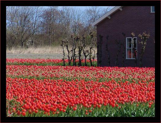 ..Tulpen in Holland..