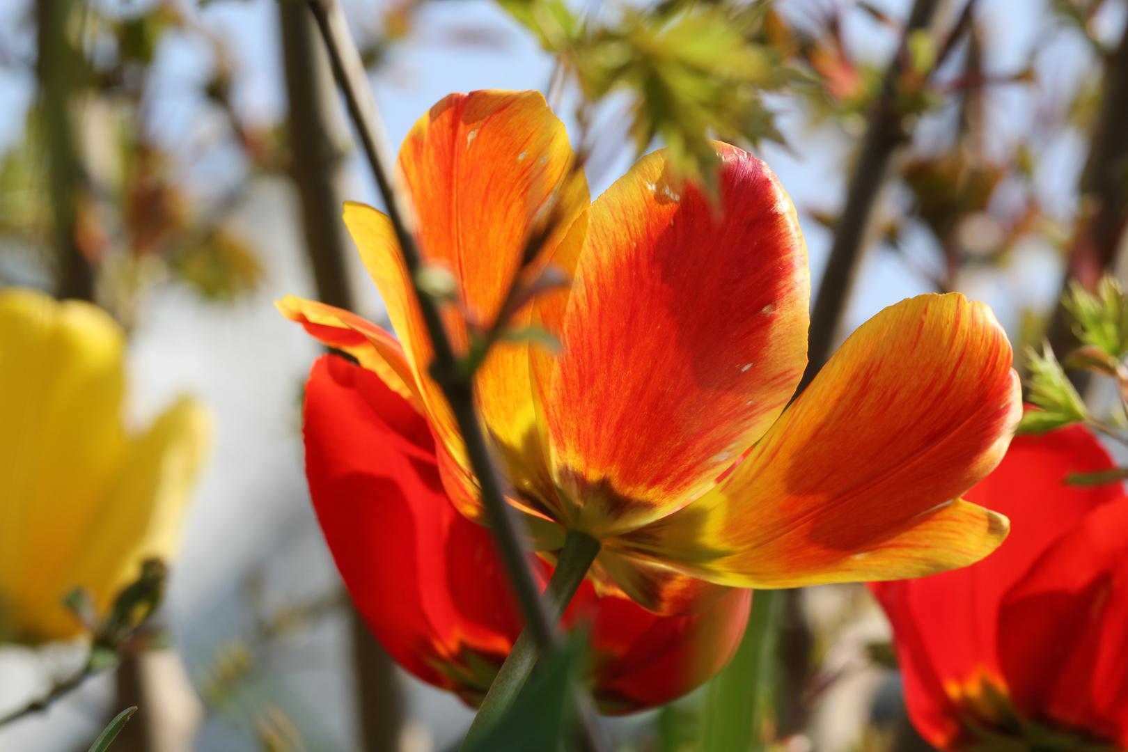 Tulpen in Hülle und Fülle :)