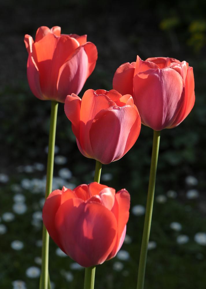Tulpen in Omas Garten 3