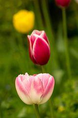 Tulpen in Reihe