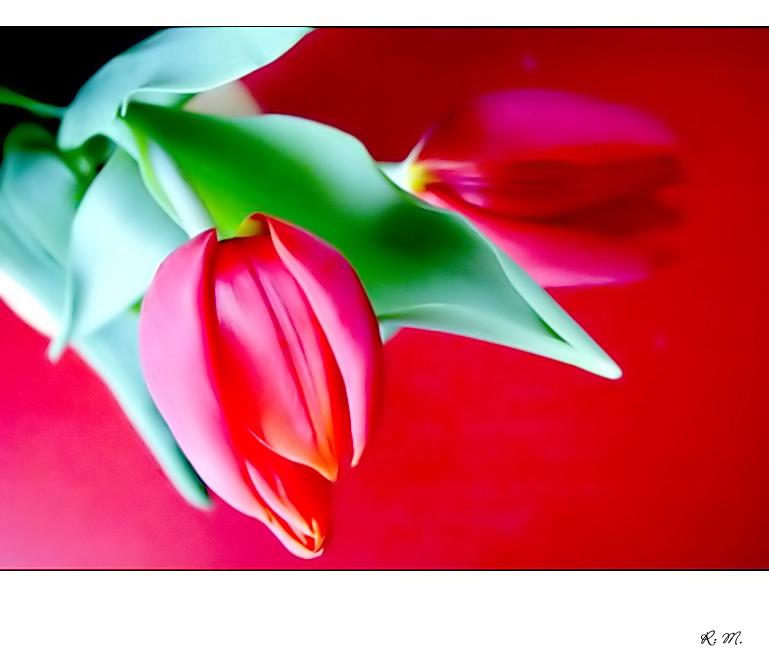 Tulpen in Rot