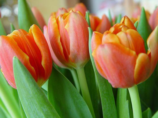 Tulpen in Rot/Orange mit Grün
