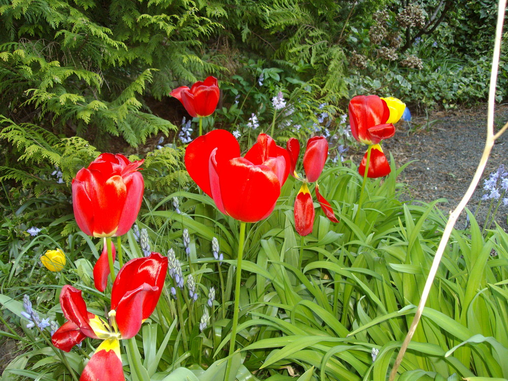 Tulpen in voller Pracht