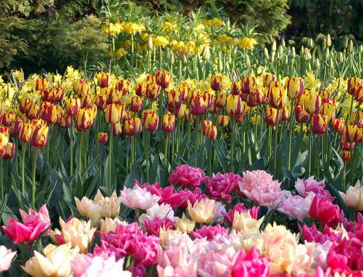 Tulpen (Keukenhof) - Holland