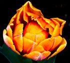 Tulpen - Kunst der Natur...