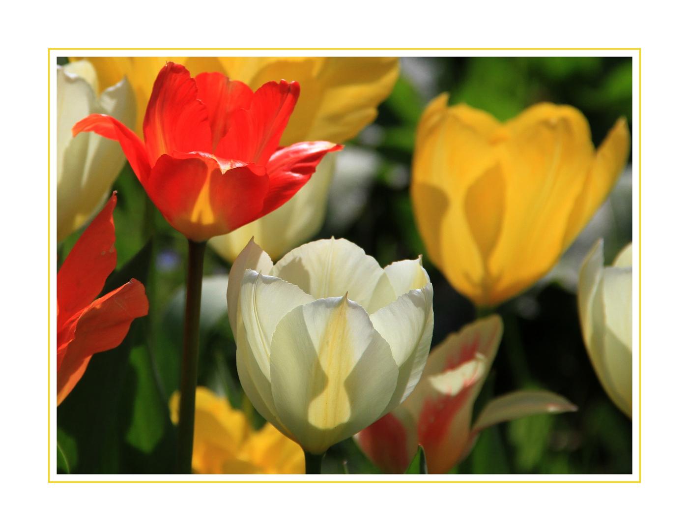 Tulpen leuchten in der Sonne