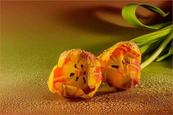 Tulpen, mal anders belichtet