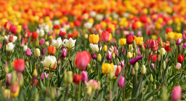 Tulpen Meer....