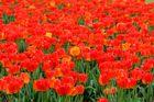 Tulpen-Meer....