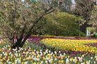 Tulpen mehr