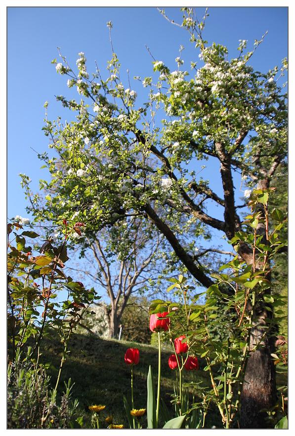 Tulpen mit Apfel....
