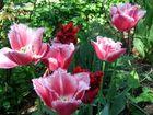 Tulpen mit gezackten Rändern