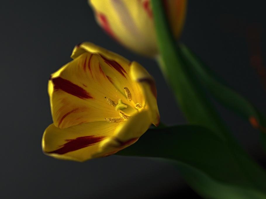 Tulpen mit goldigem Stempel