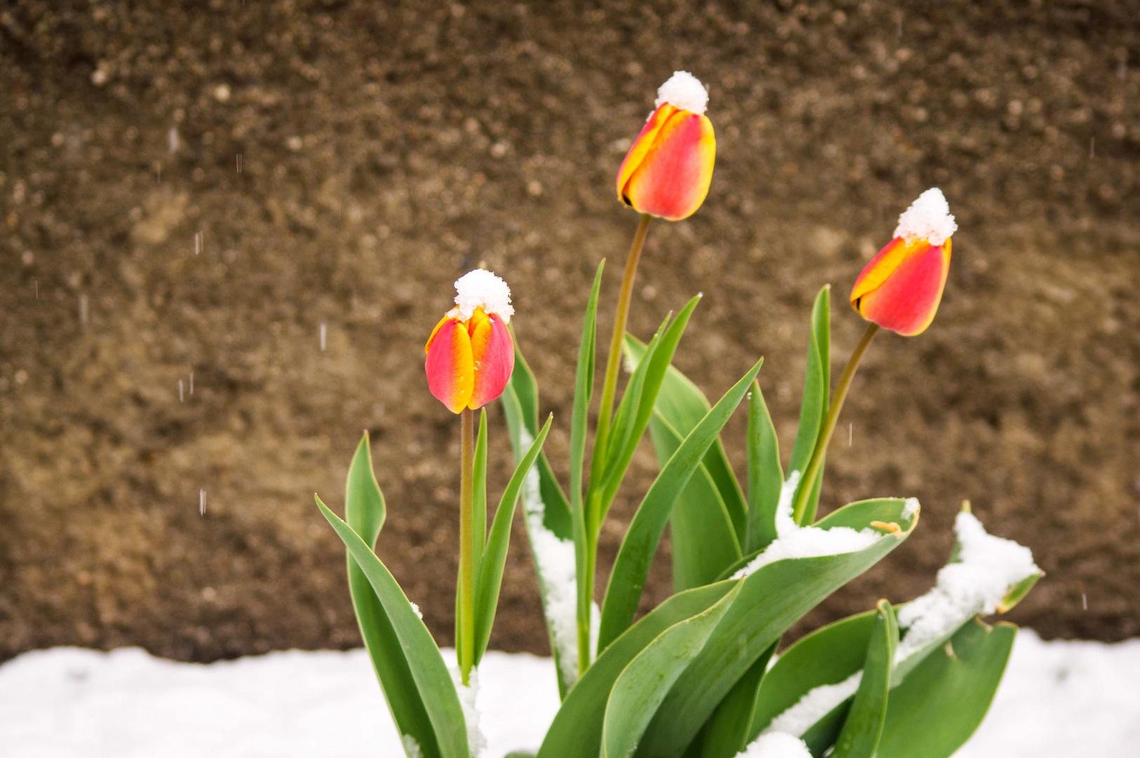 Tulpen mit Sahnehäubchen