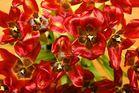 Tulpen nach ihrer Hoch-Zeit