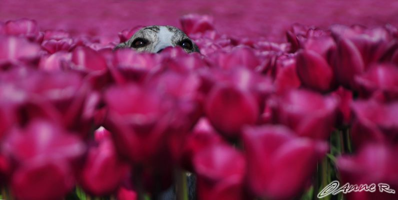 """Tulpen-Nachschlag oder auch """"Wo ist der Hund""""?"""