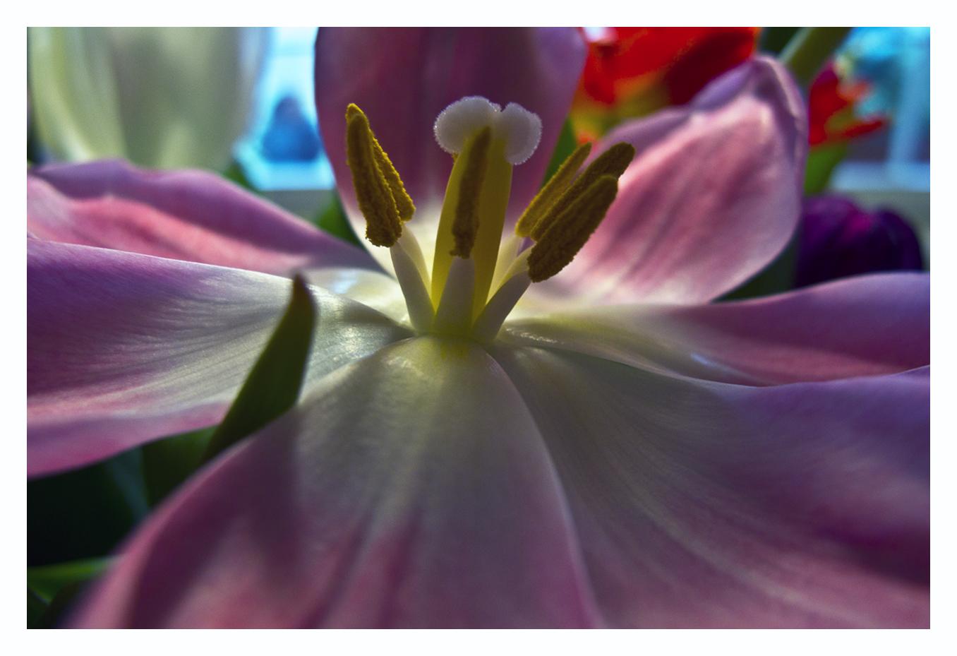 Tulpen näher dran