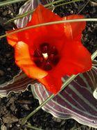 ,,,Tulpen-Neuheit in meinem Garten..