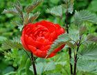 Tulpen-Neuzüchtung mit Diebstahlsicherung....;-)))