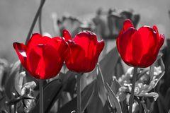 Tulpen, nicht aus Amsterdam