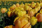 Tulpen ohne Ende