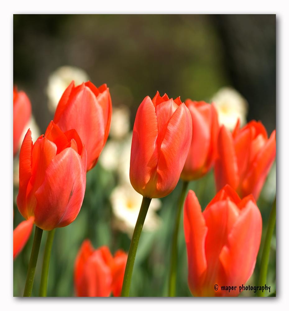 Tulpen Orange