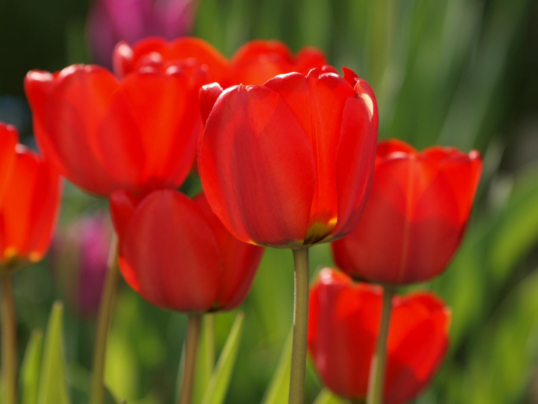 tulpen rot foto bild pflanzen pilze flechten. Black Bedroom Furniture Sets. Home Design Ideas