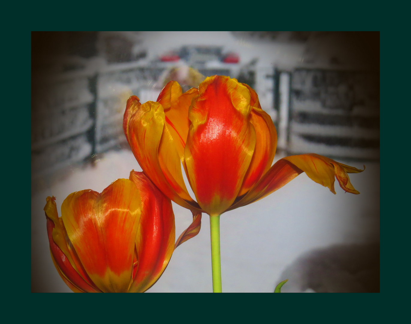 Tulpen-Schnee-Schmelze am Morgen