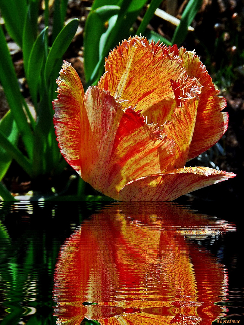 Tulpen-Schönheit