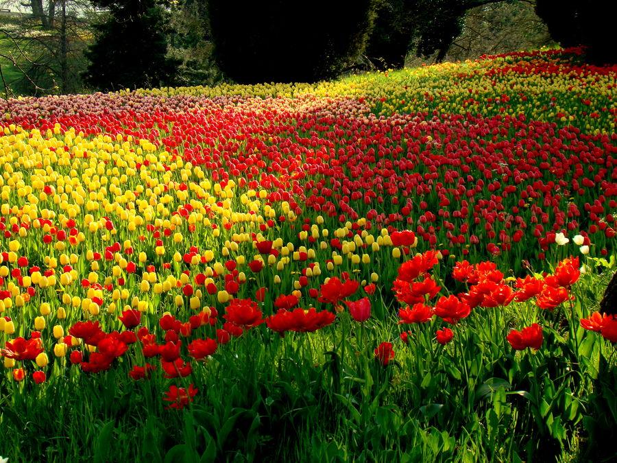 Tulpen soweit das Auge reicht....