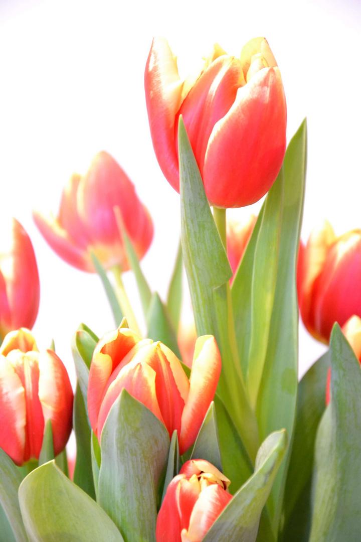 Tulpen-Strauß