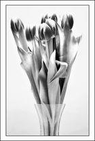 Tulpen sw