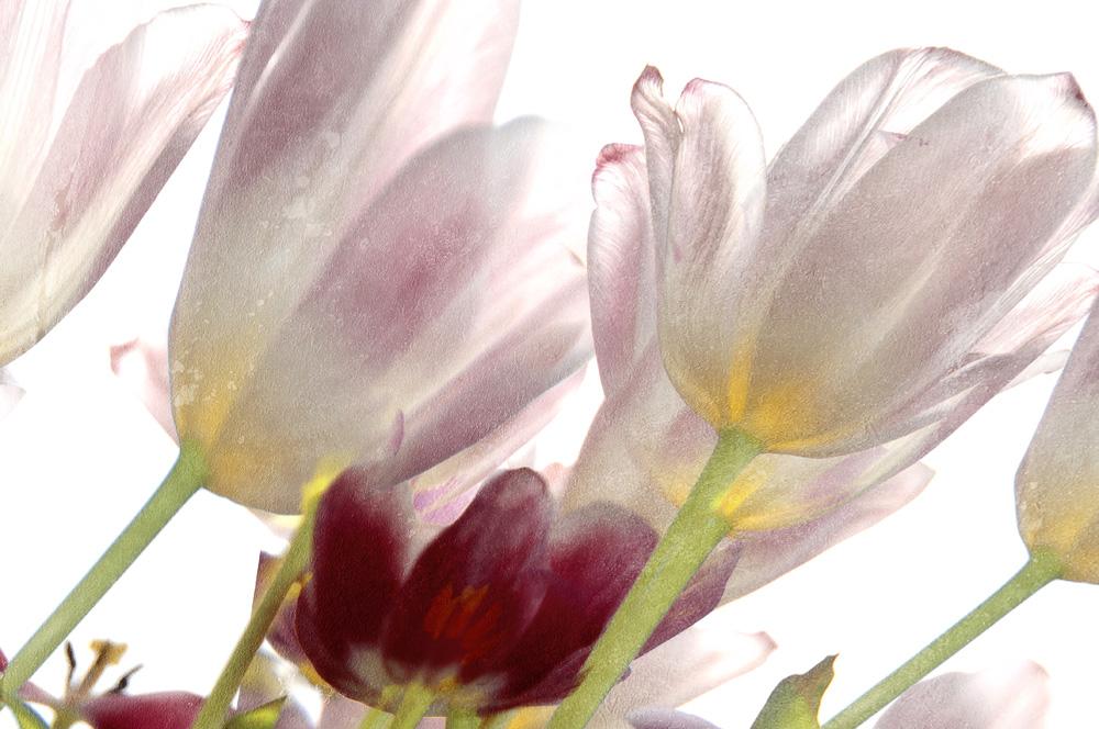 Tulpen Teil 3