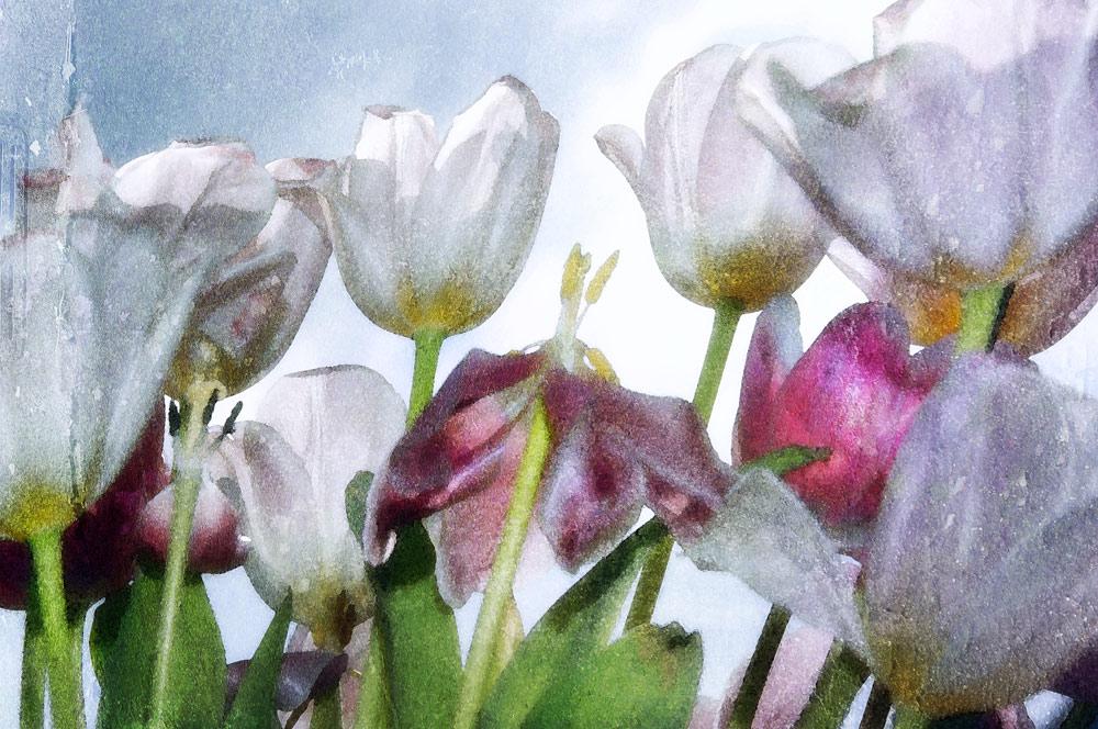 Tulpen Teil2